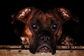boxer fotograferet i haderslev