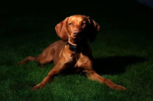 fotografering af hunde