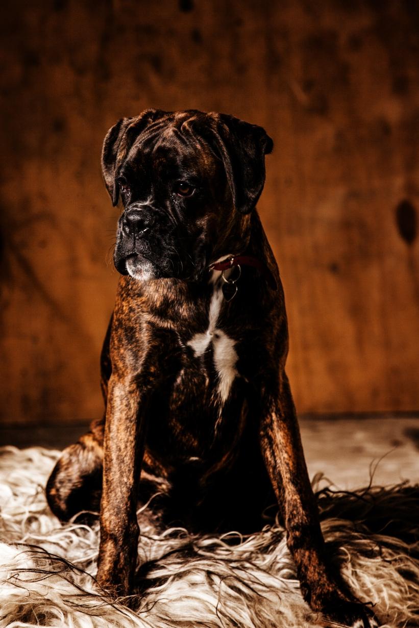 hundefotograf fotograferer hunde