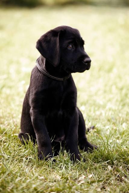 labrador hundehvalp sort